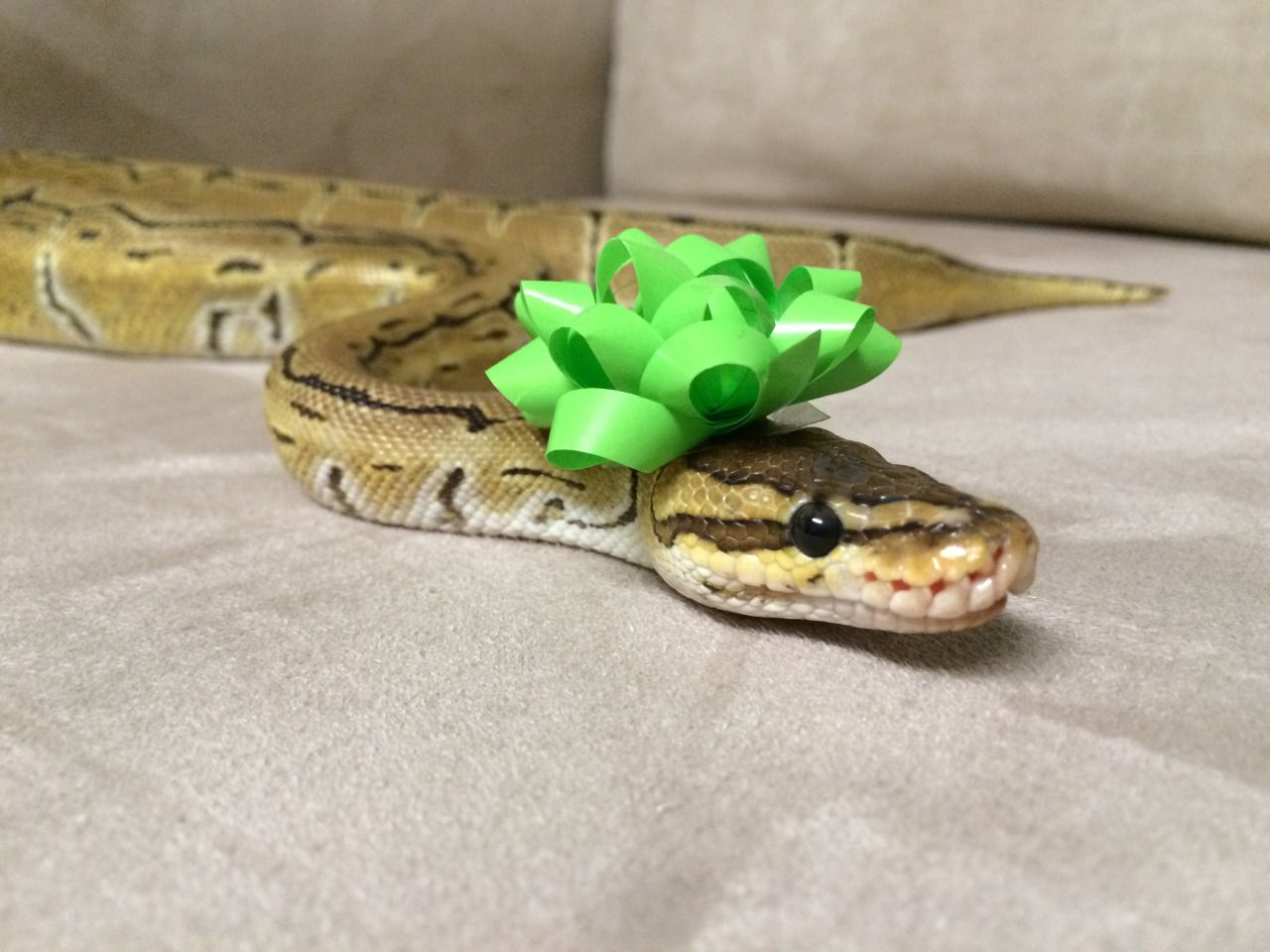 cute snakes google search animals pinterest cute snake cute