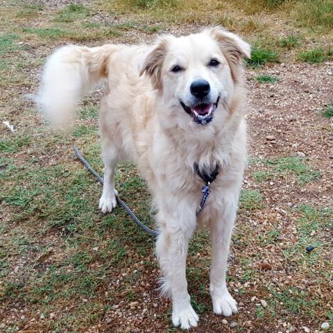Golden Retriever Dog For Adoption In Austin Tx Adn 565894 On