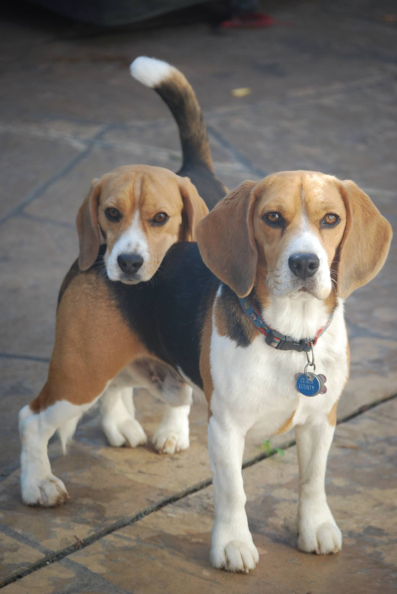 Types Of Beagles According To The American Kennel Club There Are Only Two Different Recognized Types Of Beagles Beagle Puppy Beagle Dog Kittens And Puppies