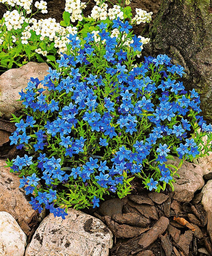 Lithodora diffusa heavenly blue is a compact plant that stays green creeping cromwell heavenly blue flowers for pots at door izmirmasajfo