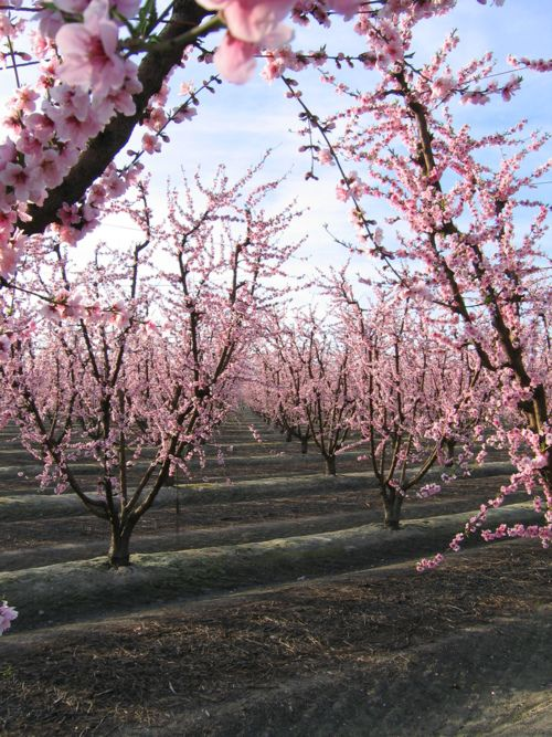 Pin By Garry M Perza Jr On Photography Inspiration Light Pink Flowers Cherry Tree Peach Trees