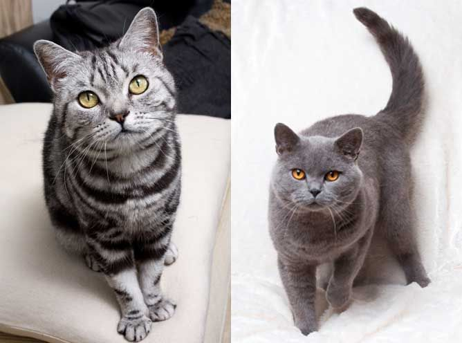 British Shorthair blue and silver tabby Cats, British