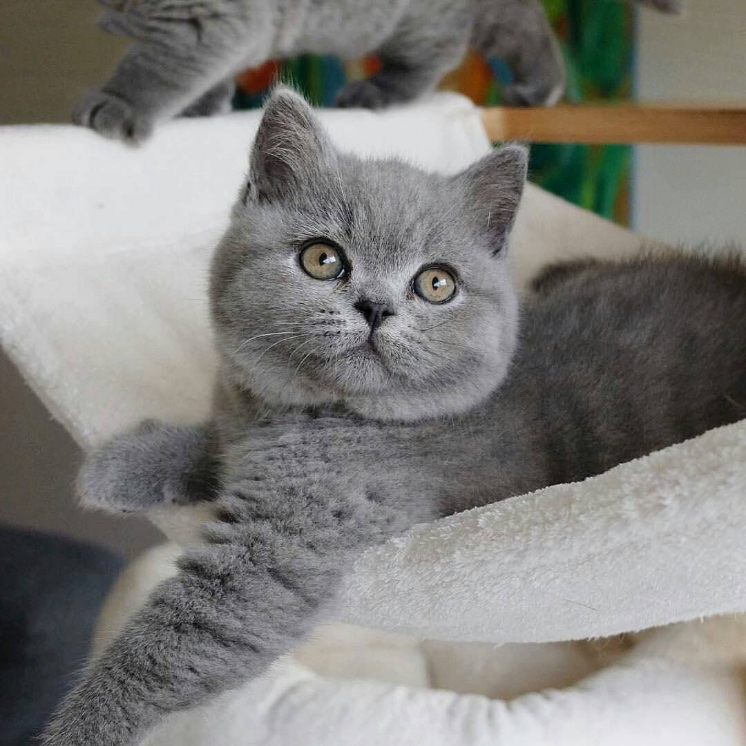 Pin By Alstonia Oney On Animals Cats Cat Pics Grey Cats