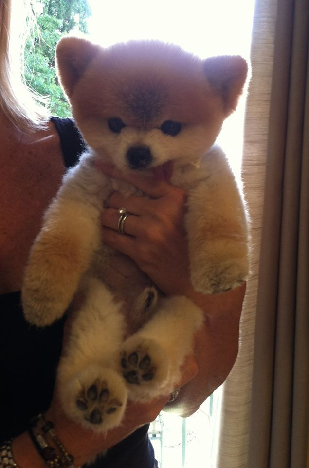 Walter Is A Puppy Mill Rescue Showing Off His Teddy Bear Cut