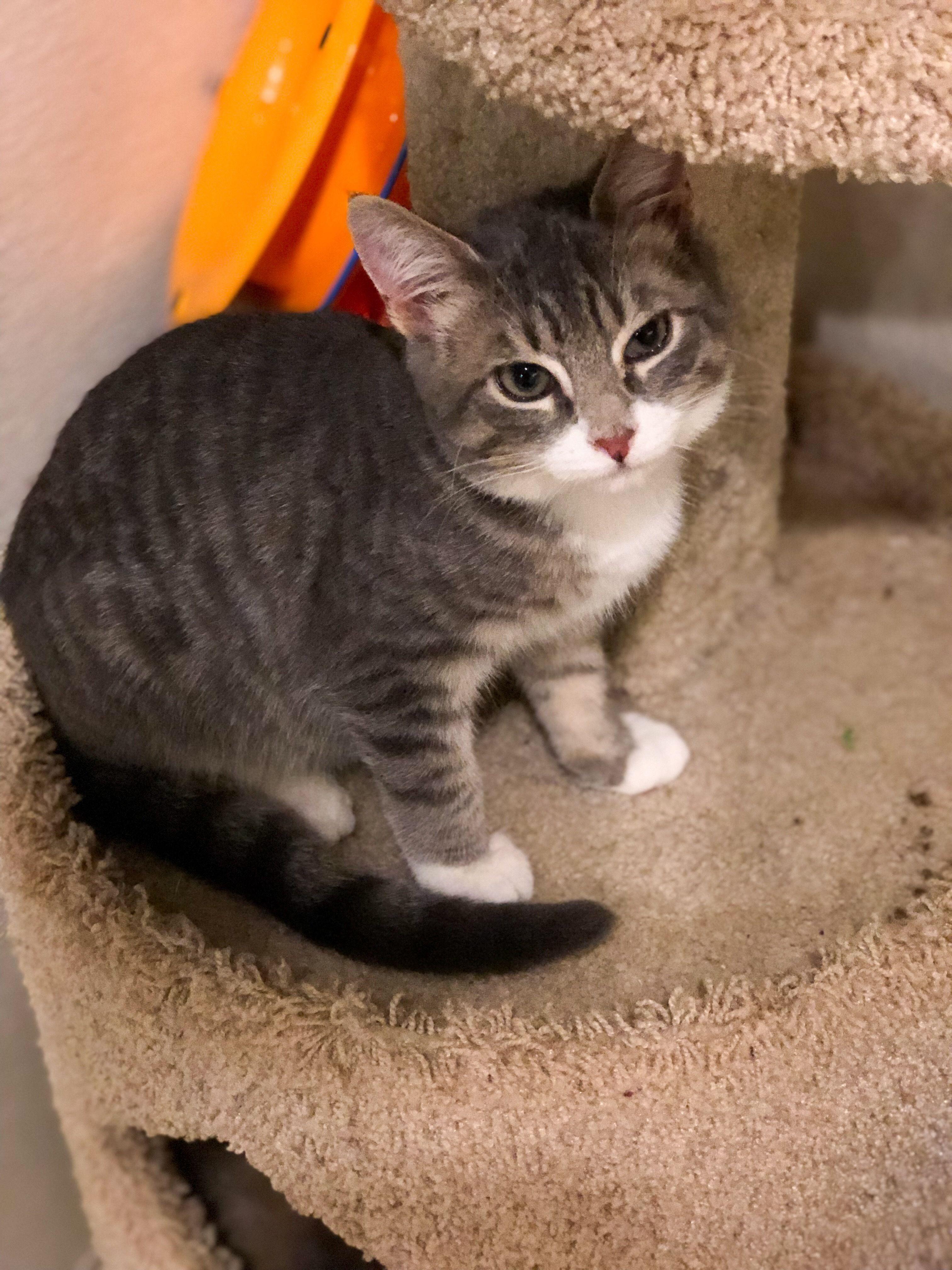 Adopt Leo On Petfinder Leo Cats Leo Today