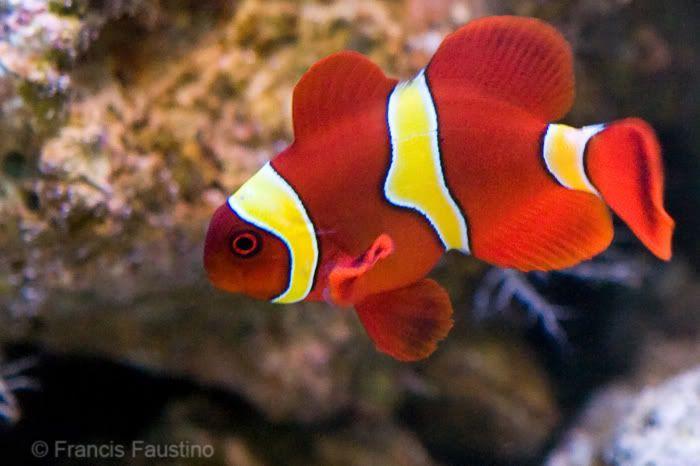 Yellow Stripe Maroon Clown Premnas Biaculeatus Maroon Anemonefish Buy Cheap Maroon Gold Stripe At Wholesale Marine Fish Clown Fish Aquarium Fish