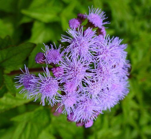 Blue Mistflower Wild Ageratum Hardy Ageratum Blue Boneset Plants Perennials Wild
