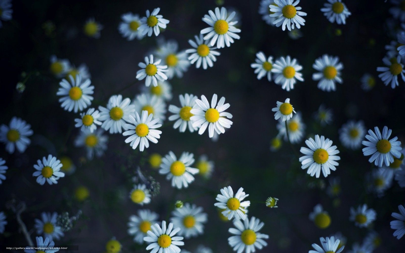 Wallpaper daisies wallpapers k pinterest daisy wallpaper and