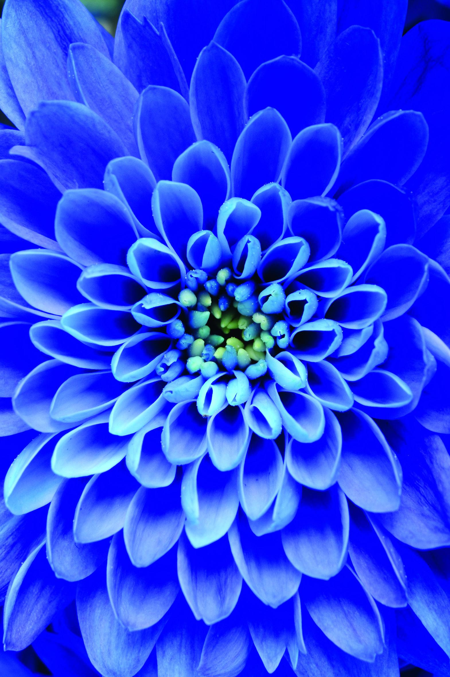 https://www.facebook.com/auriegesrbija Argeratum Blue | azul ...