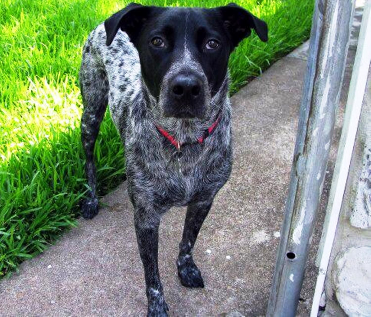 Lost Dog Male La Marque Tx Usa 77568 German Shorthaired