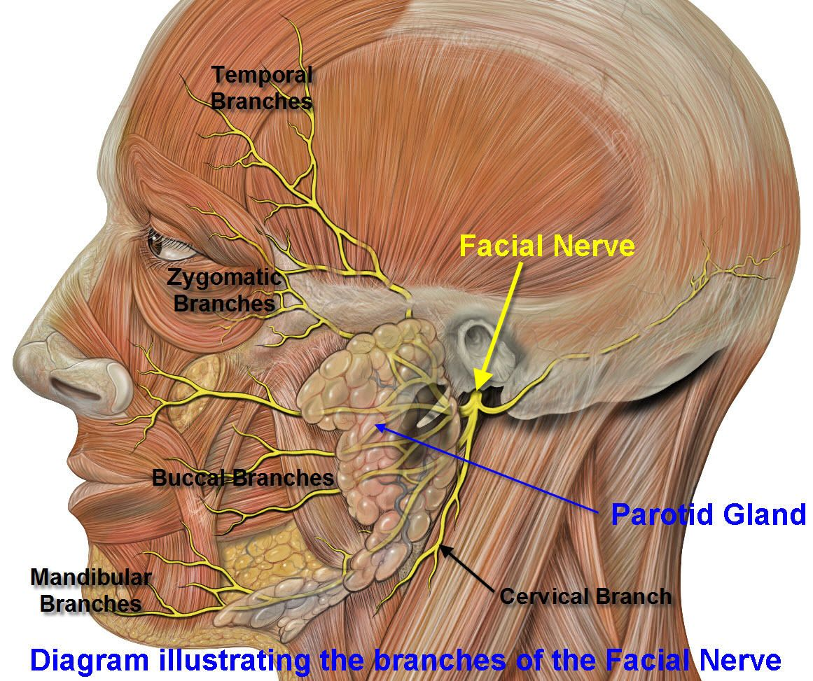 Fibromylgia facial nerve