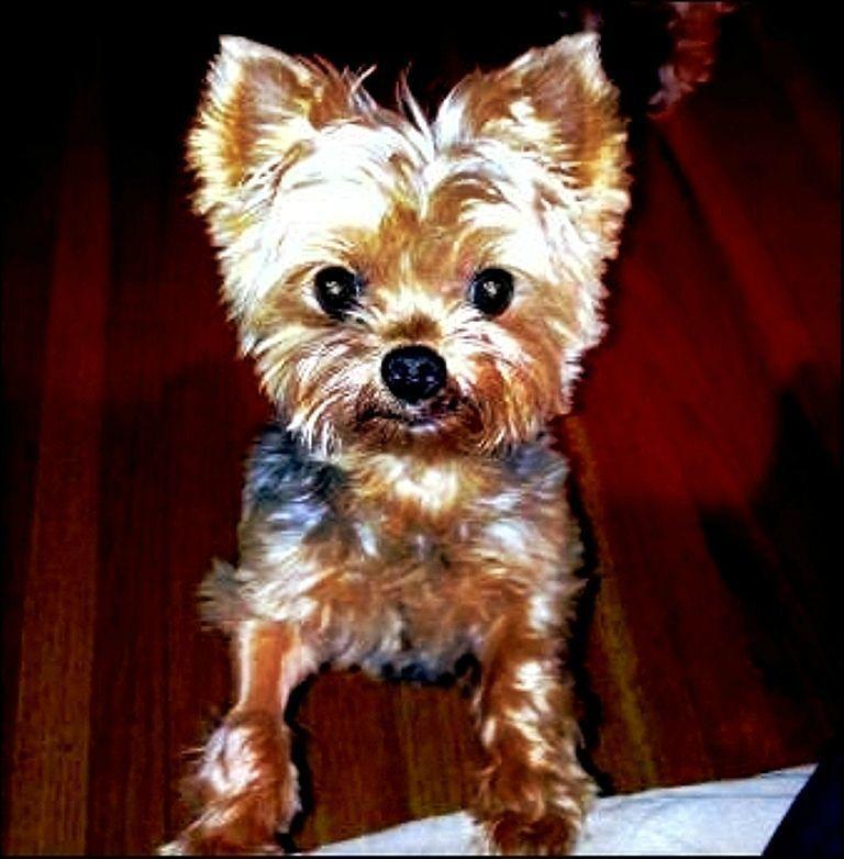Petfinder Adoptable Dog Yorkshire Terrier Yorkie