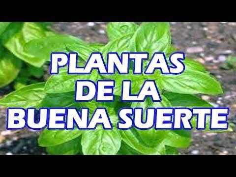Plantas De La Suerte En Casa