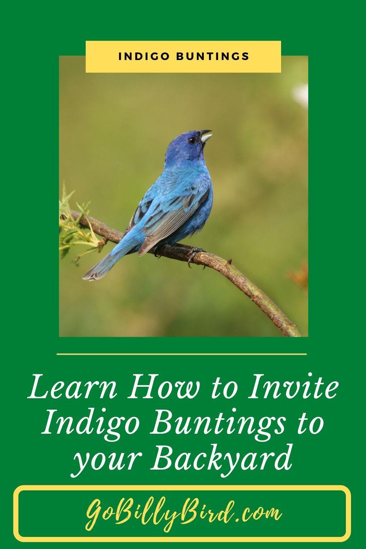 Indigo buntings backyard birds backyard birds sanctuary