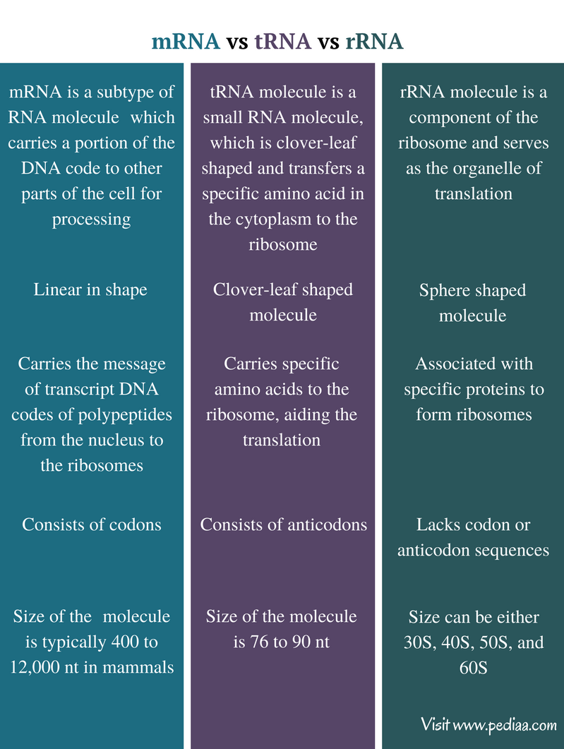 amino acids rna diagram difference between mrna trna and rrna comparison summary  difference between mrna trna and rrna comparison summary