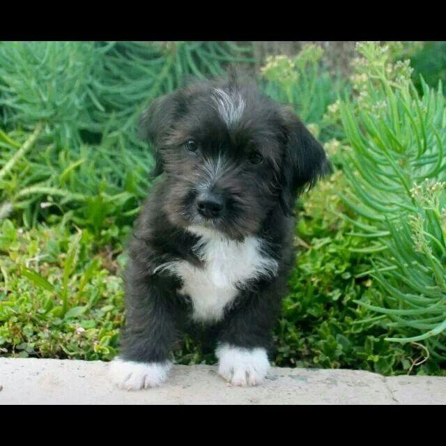 Shih Tzu Pitbull Mix Dogs Pitbull Mix Basic Dog Training