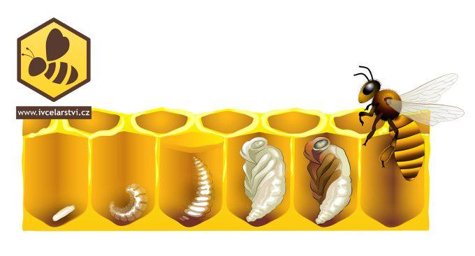 Vývoj včely   Včela, Baby tips, Včela medonosná