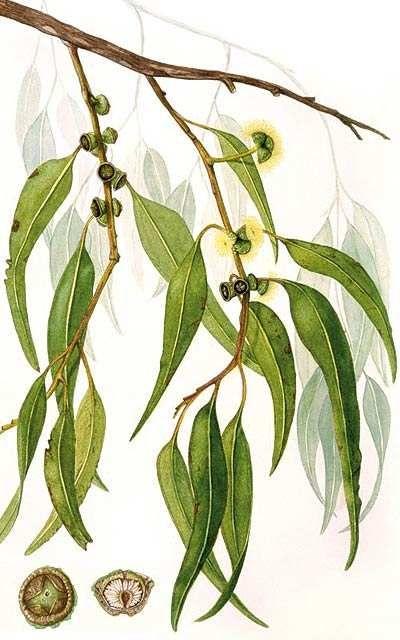 Eucalyptus Citronne Eucalyptus Citriodora Botanical Drawings