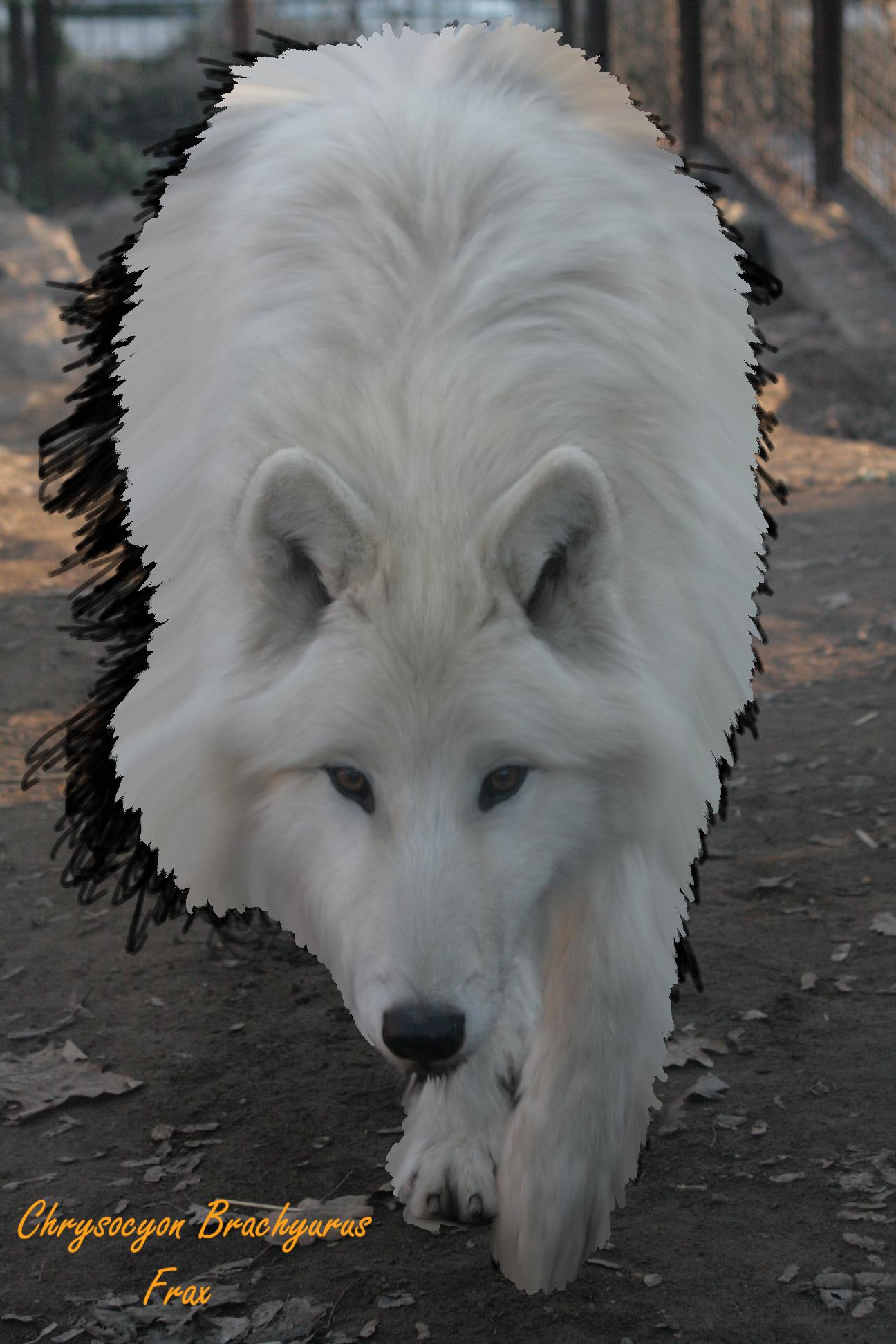 White Wolf White Wolf Animals Animals Images