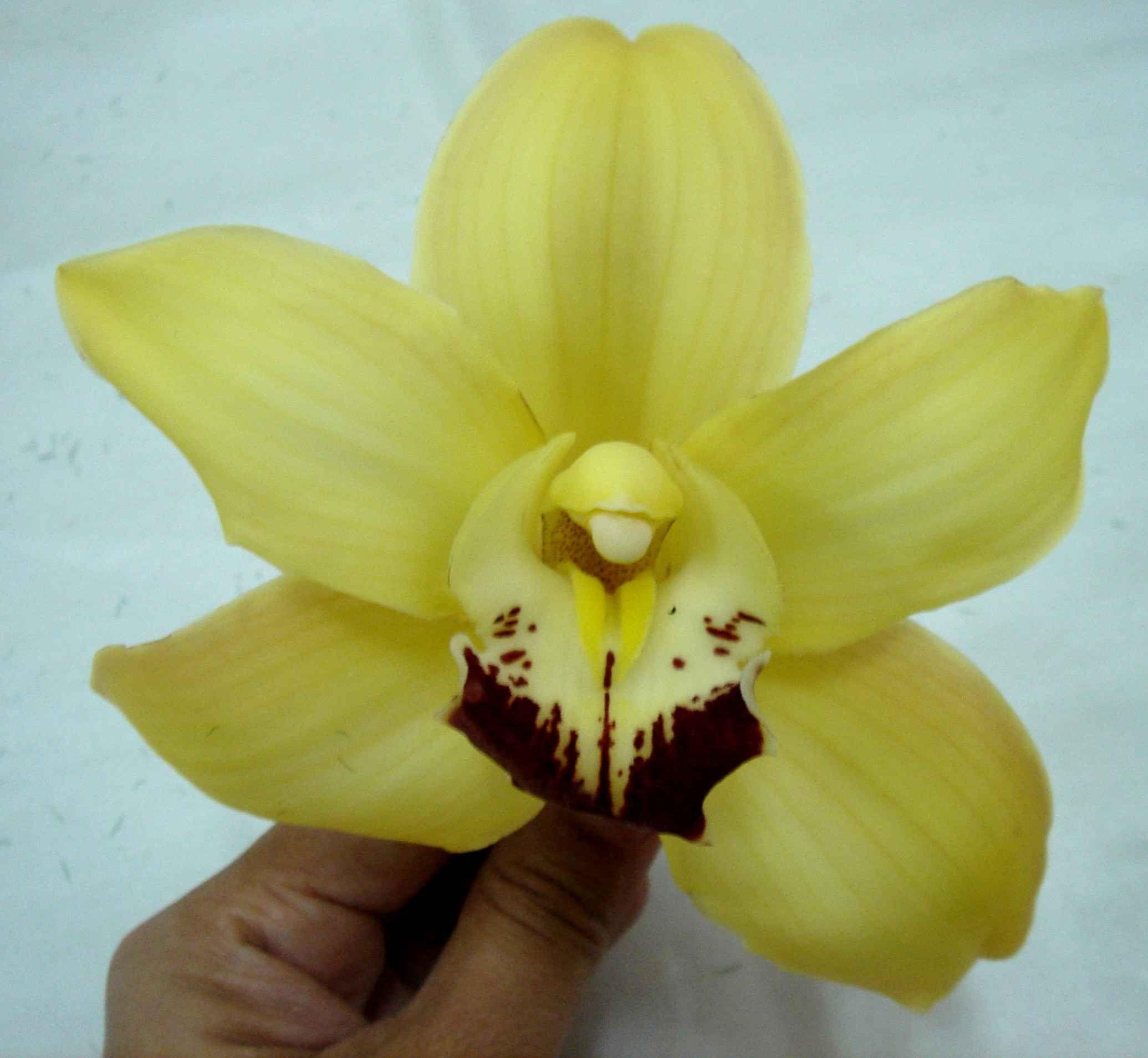 Cymbidium Orchid Cymbidium Orchids Orchids Flowers