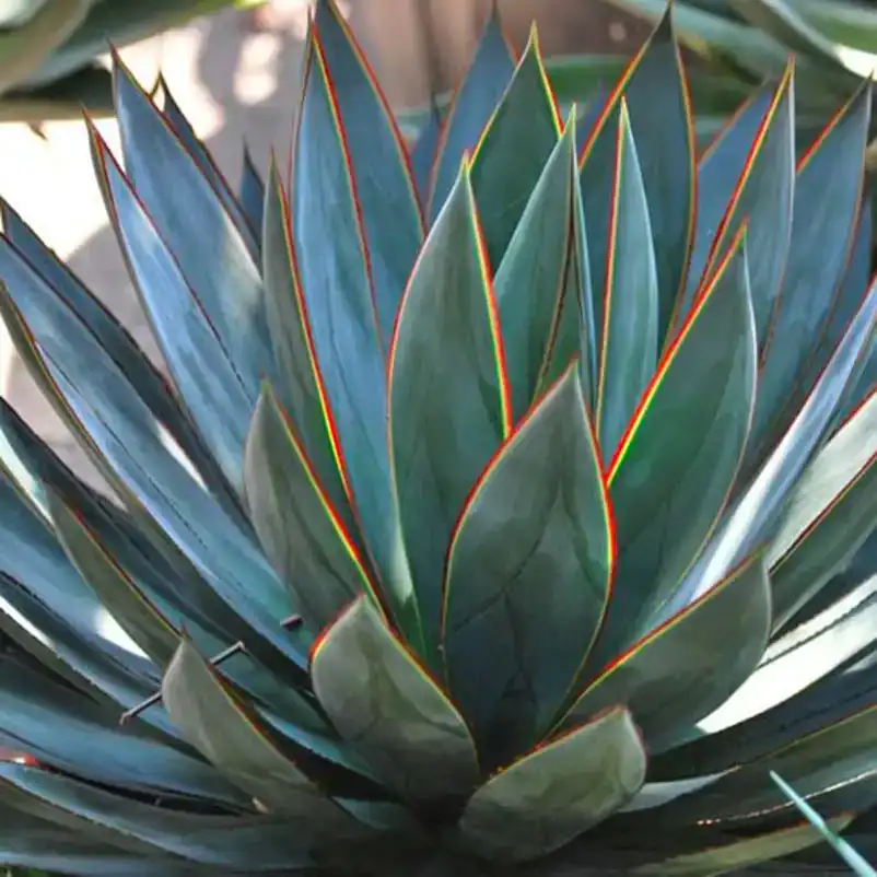 Photo of Agave 'Blue Glow'