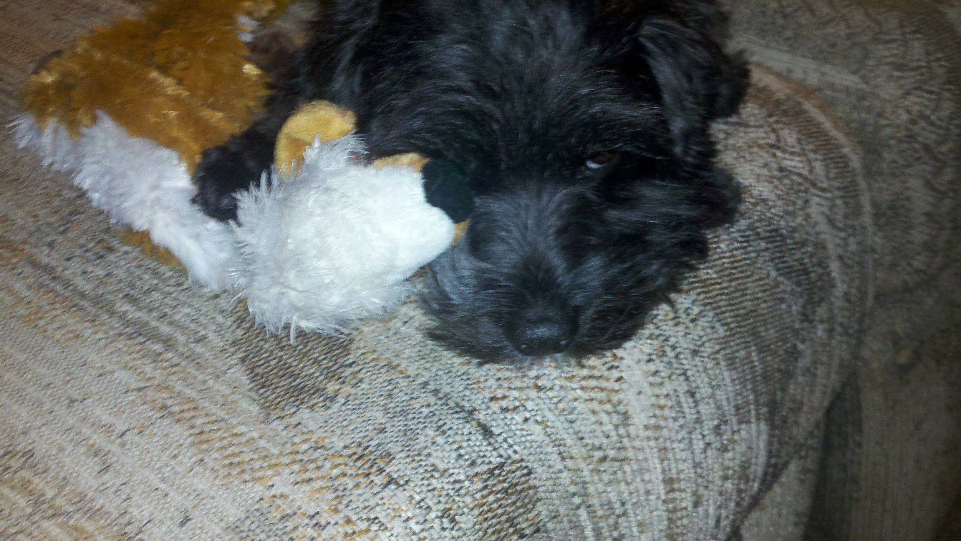 my puppy anjill cuddling with her stuffed fox.