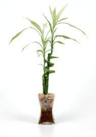 Lucky Bamboo, Dracaena Sanderiana, Bamboo House Plants, Growing Bamboo,  Bamboo Care House