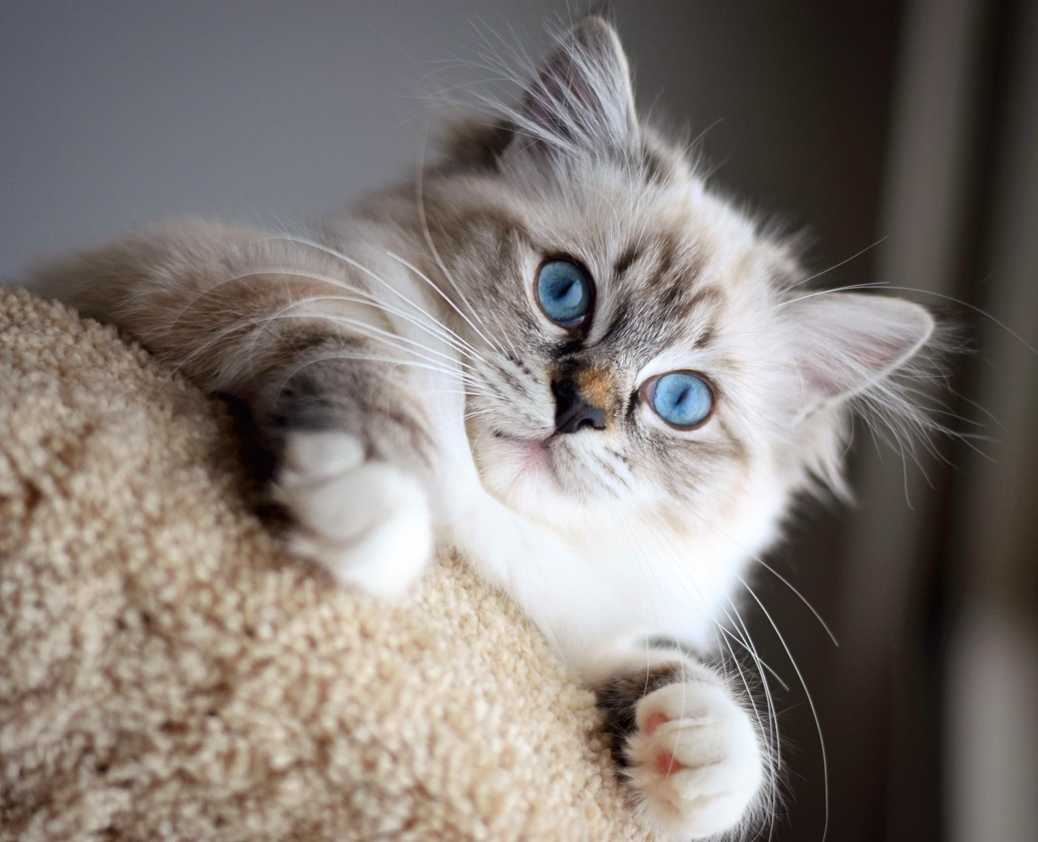 Seal Mitted Lynx Ragdoll Female Photo Taken By Her Owner Dee