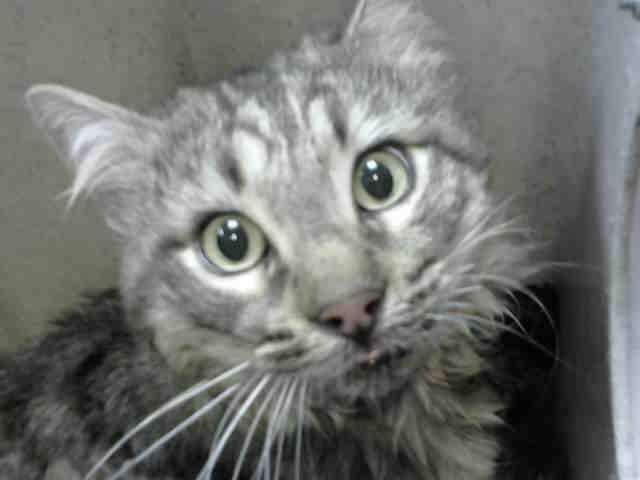 Rescue Only Kitties of Devore · ON SUNDAY MORNING KILL LIST! Foster/rescue + pledges will save his life. #A643699 BETELJUS Male 4 yrs old Devore Animal Shelter 19777 Shelter Way Devore, CA 92407 Voice: (909) 386-9820 - press 0