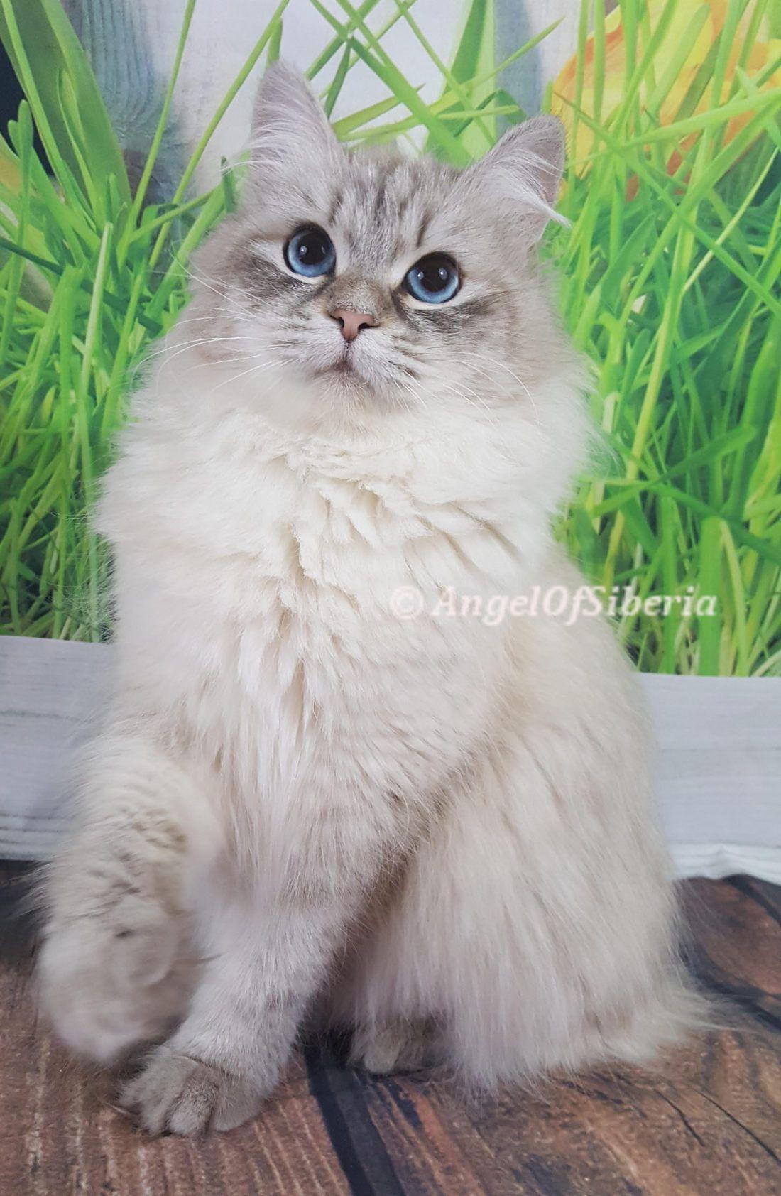 Hypoallergenic Siberian Kittens Washington Siberian Kittens Siberian Cat