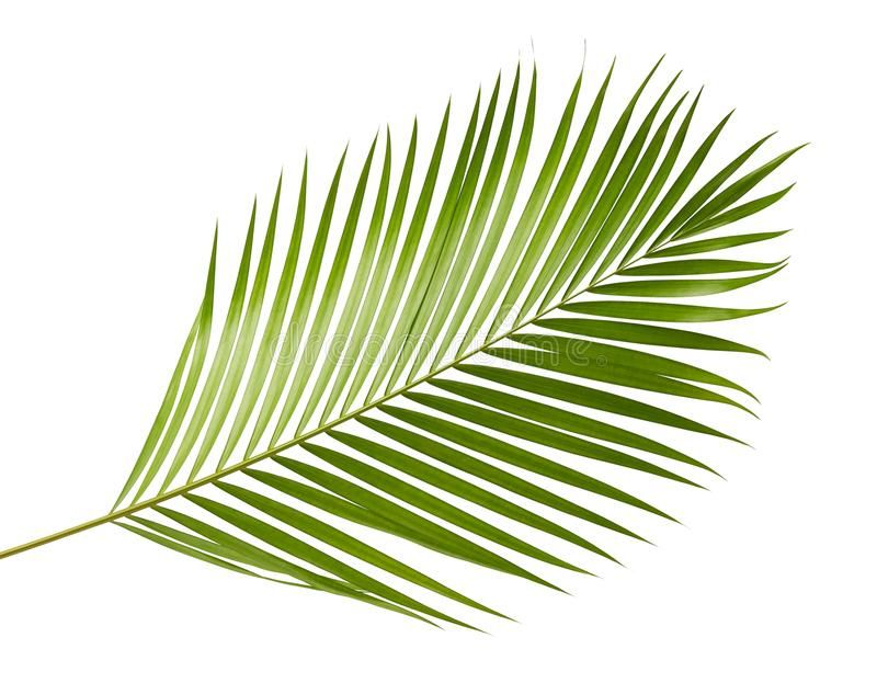 Photo About Yellow Palm Leaves Dypsis Lutescens Or Golden Cane Palm Areca Palm Leaves Tropical Foliage Isolated On Wh Areca Palm Tropical Foliage Palm Leaves