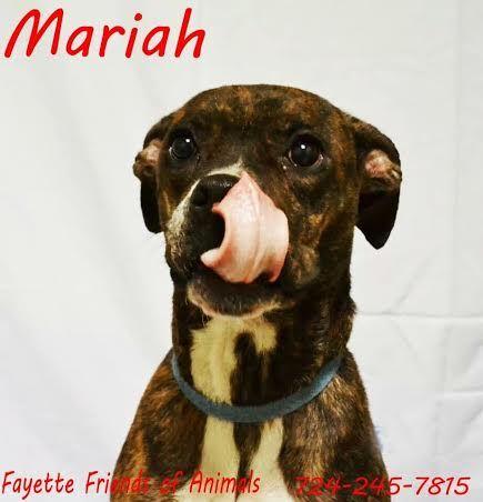 Meet Mariah A Petfinder Adoptable Boxer Dog Uniontown Pa