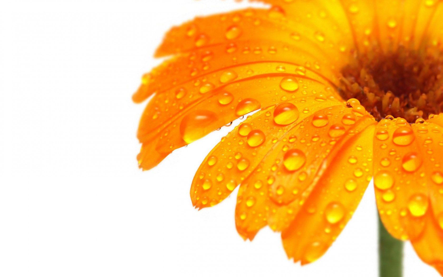 Wakpaperlargeflowerswallpapersg orange