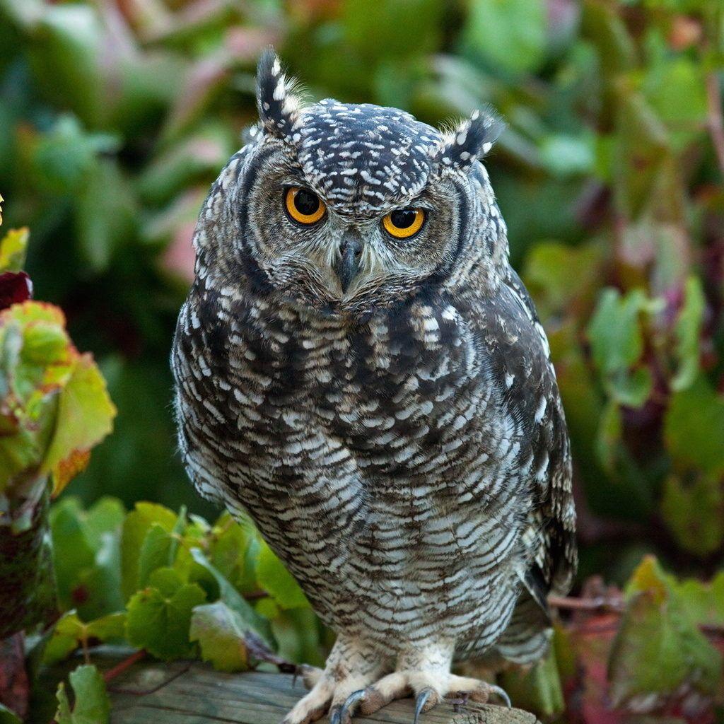 (12) Одноклассники Horned owl, Owl, Birds