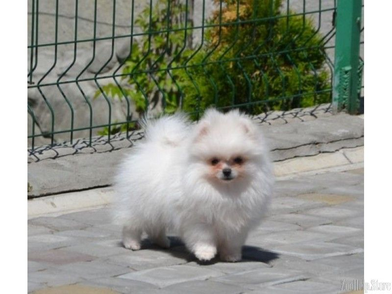 Pomeranian For Sale Near Me Pomeranian For Sale Maryland Pomeranian For Sale Virginia Pomeranian For Sale In Md Pomeranian For Sale In Texas Perros Bebe Amigas