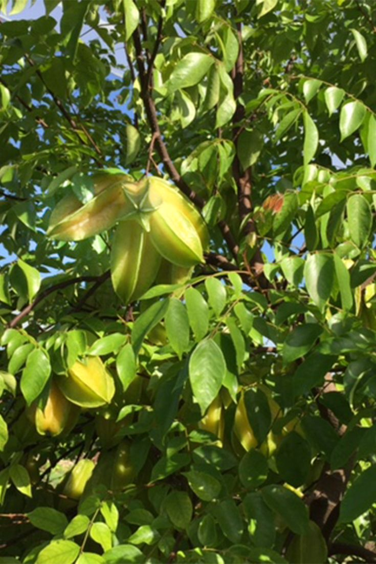 Sometimes Starfruit Will Grow In A Cluster Making The Fruit Look Like A Bouquet Nice Aroma But Great Tast Starfruit How To Grow Taller Tropical Fruit Recipes
