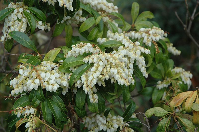 Red Mill Anese Pieris Onica At Oakland Nurseries Inc