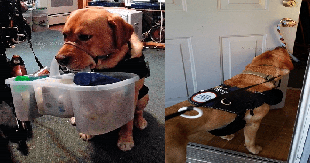10 Service Dog Tasks for Handlers With Wheelchairs