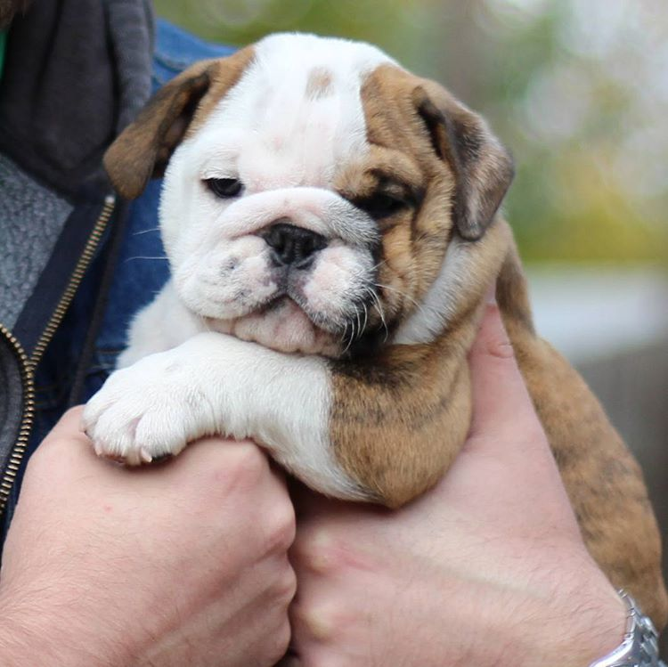 Dogs For Sale Bulldog Puppies English Bulldog Puppies English