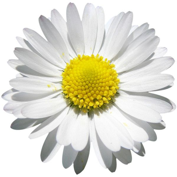 Daisy Beauty Png File Attention Only The Maximum Original Size Is In Liked On Polyvore Daisy Flower Flower Backgrounds Daisy