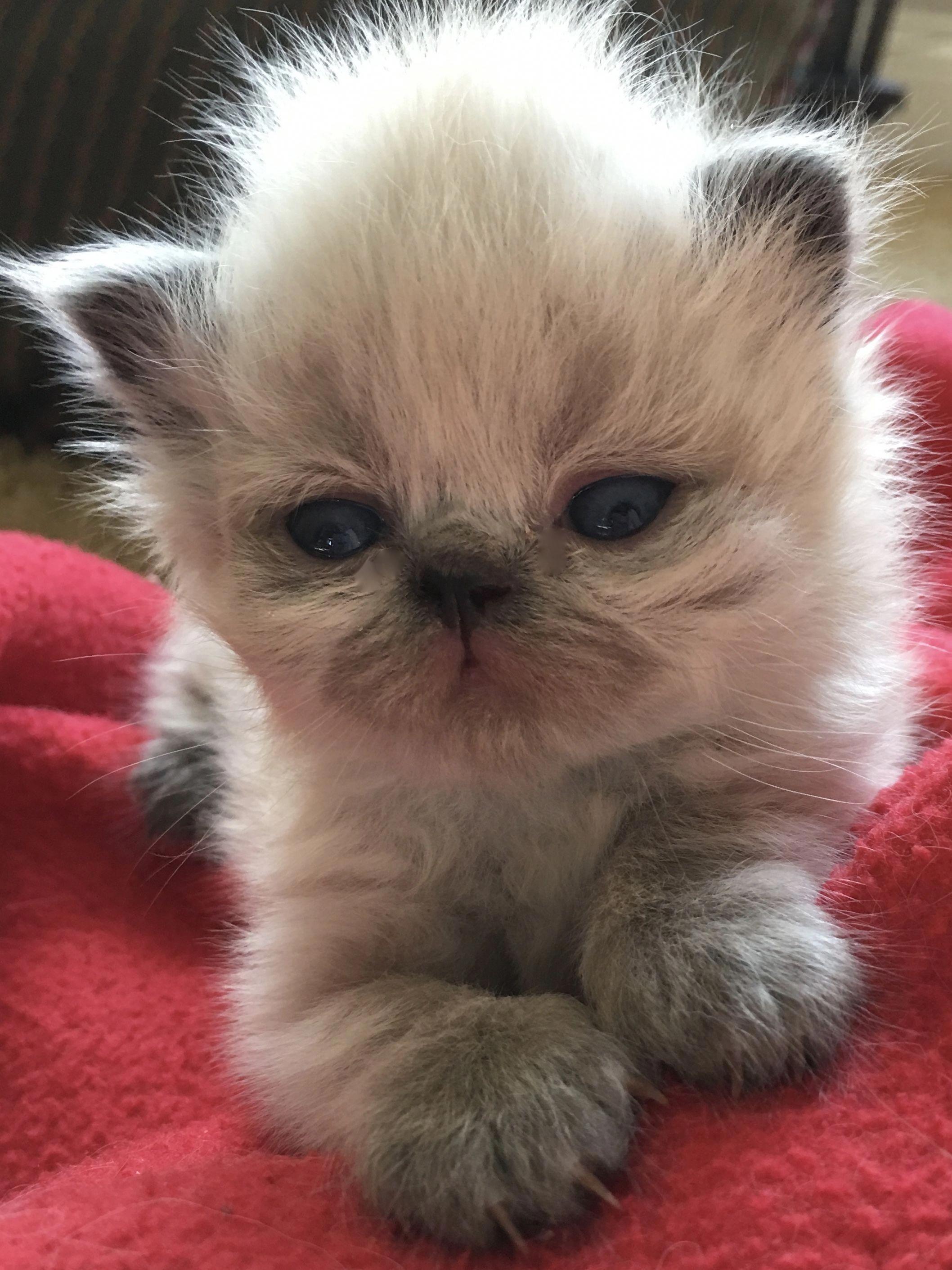 We Have Grand Champion Lap Warmers Teacupcats Baby Cats Persian Cat Cat Pet Supplies