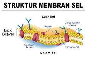 Pendidikan membran sel oke pinterest pendidikan membran sel ccuart Choice Image