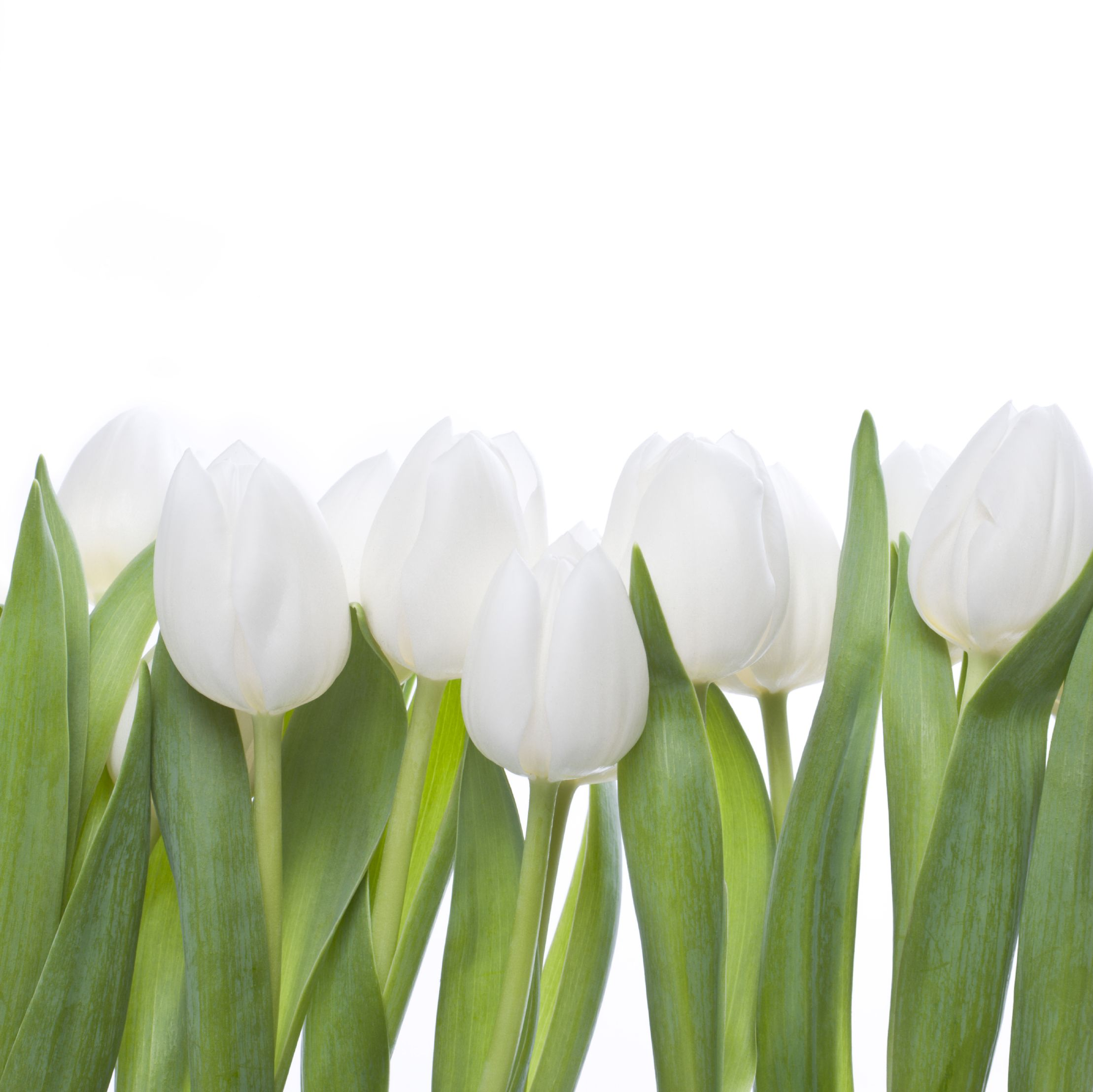 Favorite Flowers 2lips White Tulips Home Scents Summer Family Fun