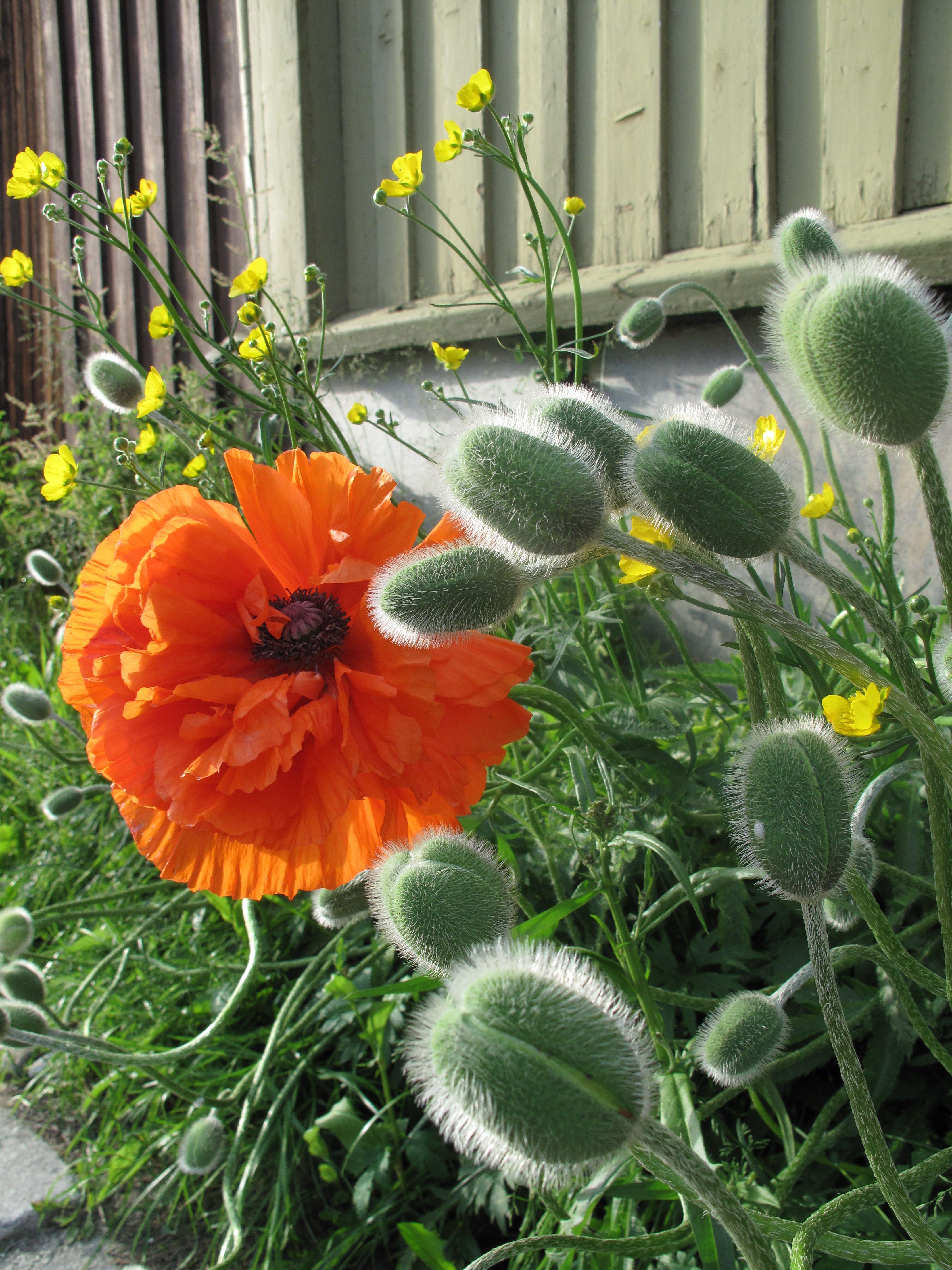Riesen Mohnblume Mohnblume Blumen Mohn
