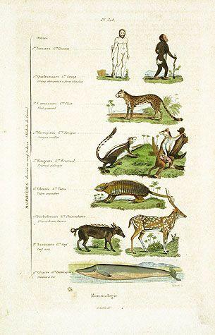 Mammal Clification Chart Reg Price 45 20 Guerin Mammals Natural History Prints 1836