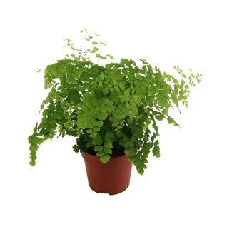 Adiantum Klinowate Fragrans Maidenhair Fern Indoor Plants House Plants Indoor