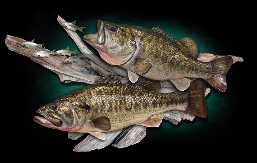 Largemouth Bass Fish Taxidermy Replica Mount Taxidermy