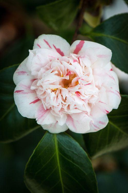 Camellia Japonica Pompone Alan Buckingham Camellia Flowers Japonica