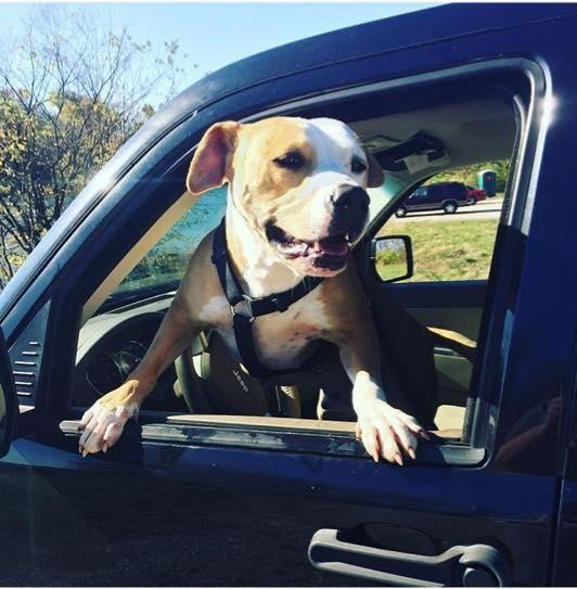 Adopt Sherman On American Bulldog Mix Dogs American Staffordshire