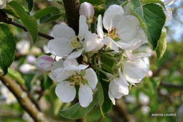 Apple Tree in Bloom, Malus Domestica, Spring 2013, in the Garden.